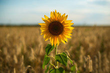 Lonely Yellow Sunflowers In A ...