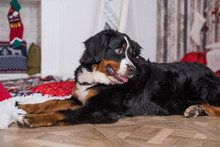 Cute Funny Dog Lying On Rug Near Door At Home. Bernese Mountain Dog