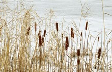Dry Reeds On A Snowy Frozen Pond