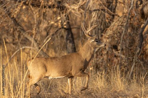 Buck Whitetail Deer in Rut in Colorado in Fall Fotobehang