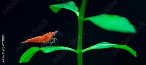 Big fire red or cherry dwarf shrimp with green background in fresh water aquarium tank Canvas Print