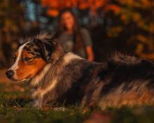 Woodlawn Cir And Opp Indian Hill St, East Hartford, CT 06108, USA - 11/04/2019. Enjoying The Fall Foliage, Girl/teen/women Plays Catch With Mini Aussie/Australia Shepherd Dog.