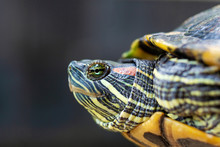 Red Eared Terrapin - Trachemys...
