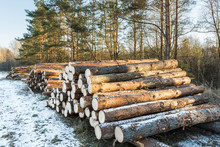 Pile Of Pine Logs On Meadow In...