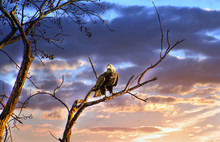 Majestic Bald Eagle Perched On...