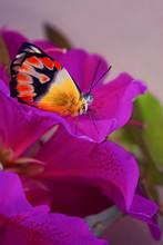 Australian Common Northern Jezebel Butterfly
