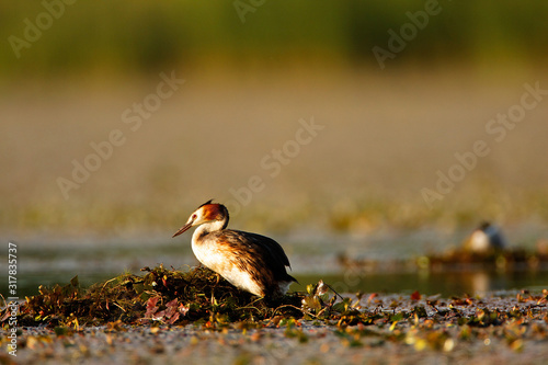 Photo The great crested grebe on the nest, Crna Mlaka fishpond
