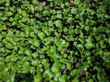 Ipomoea Pes-caprae Plant. Also...