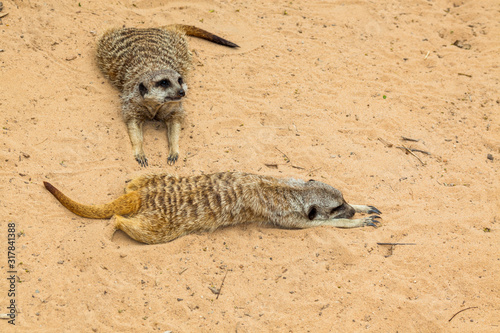Vászonkép very cute meerkats from africa