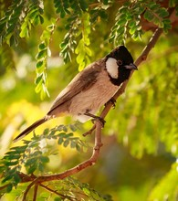 Closeup Shot Of A Common Bulbul Sitting On The Branch Of A Tree With A Blurred Background