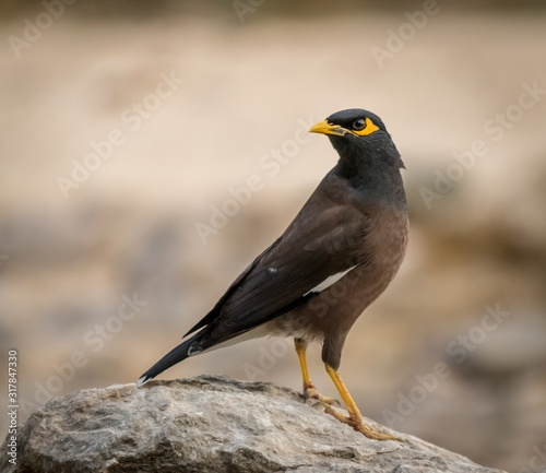 Closeup shot of a beautiful myna bird sitting on a stone with a blurred backgrou Wallpaper Mural