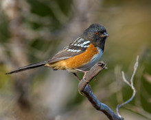 Spotted Towhee On A Perch