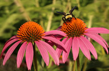 Bumble Bee On Pink And Orange ...