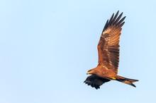 A Black Kite Flying In The Sky