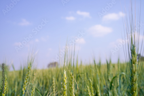 Green wheat farm in India Canvas Print