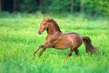 Red horse free run in spring green field