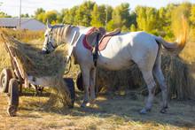 Farmer White Horse At The Wagon