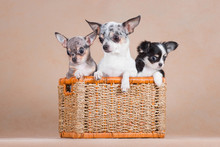 Three Chihuahua Dogs Sit Toget...