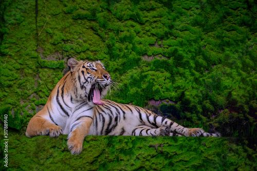 Fototapeta Beautiful Bengal tiger green tiger in forest show  nature.