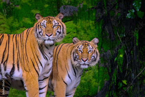 Fotografie, Obraz Beautiful Bengal tiger green tiger in forest show  nature.