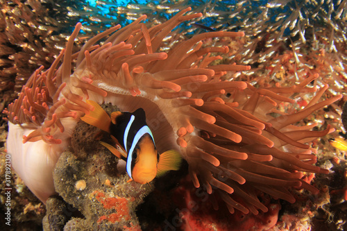 Canvas Print Clark's Anemonefish clownfish fish in anemone