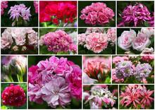 Wunderschöne Collage Von Verschiedenen Pelargonien - Geranien Blüten Im Sommerlichen Garten