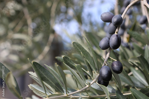 Cuadros en Lienzo Ramo colmo di olive biologiche