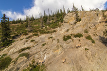 Large Group Of Mountain Goats Hanging Out And Feeding Them Selves On Grass Rocky Mountain Rockface Canadian Widlerness Alberta Rocky Mountains