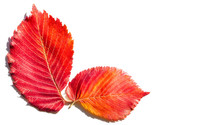 Red And Yellow Maple Leaves On...