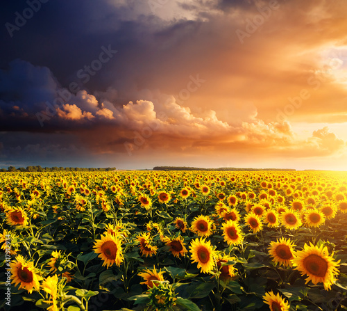Wall mural - Bright yellow sunflowers glow in the sunlight. Blooming field closeup.