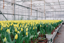 Tulips In A Greenhouse With Fl...