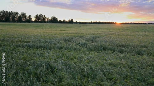 Fotomurales - Bright sunset sky with cirrus over a wheat field. The sun sets behind the horizon. Rural summer landscape. Beauty nature, agriculture and seasonal harvest time. Timelapse.