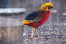 Golden Pheasant (Chrysolophus ...