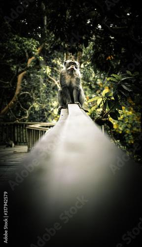Vászonkép Monkey facing camera in Bali, Indonesia