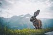 Ausgewachsener Hase auf einem Berg in den Alpen