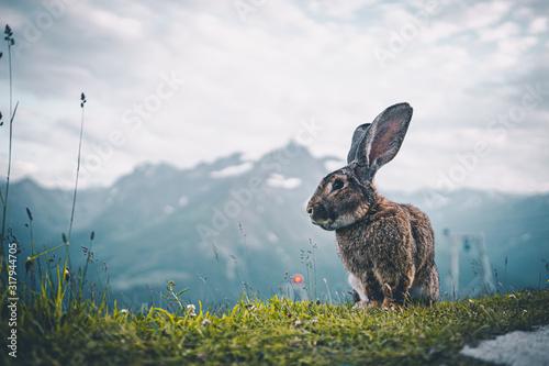 Ausgewachsener Hase auf einem Berg in den Alpen Fototapet
