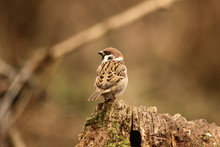Sparrow In A Wild Forest In Hu...