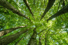 Looking Up To The Sky Through The Leafy Green Canopy Of Woodland Trees On A Sunny Summer Day
