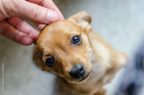 Leinwand Poster Petit chien mignon Pinscher