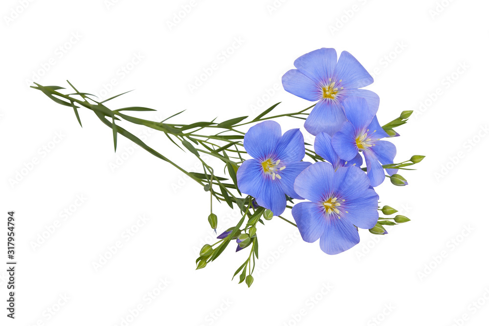 Fototapeta Blue Flax flowers isolated on white background with clipping path. (Linum usitatissimum) common names: common flax or linseed. Close up view.