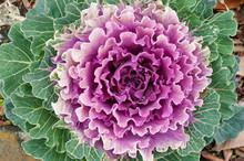 Beautiful Purple Ornamental Ca...