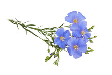 Blue Flax Flowers Isolated On White Background With Clipping Path. (Linum Usitatissimum) Common Names: Common Flax Or Linseed. Close Up View.