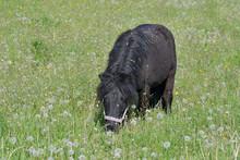 A Cute Shetland Pony Grazing I...