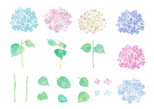 Illustration Of Hydrangea Hand...
