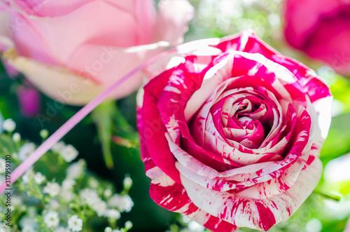 Abracadabra, a very romantic floribunda rose, with gorgeous large and abundant f Canvas Print
