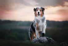 Australian Shepherd - In Sunset
