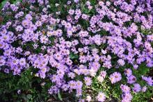Flowers Of Symphyotrichum Laev...