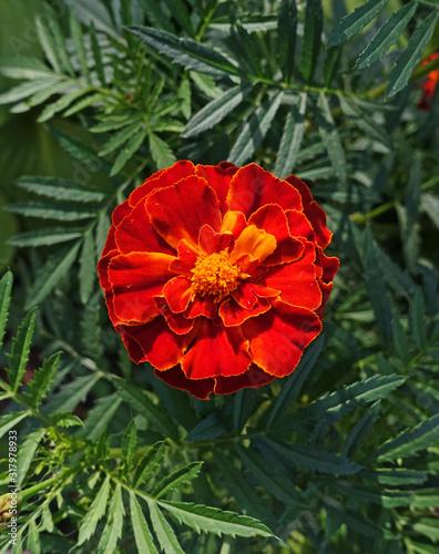 Photo Red Marigold Flower Closeup