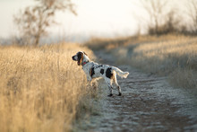 Dog English Springer Spaniel