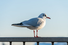 Single Wild Seagull Sits On A ...